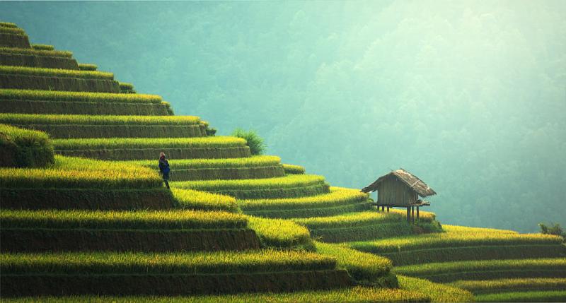 coltivazione-riso-asia